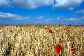 blé 1