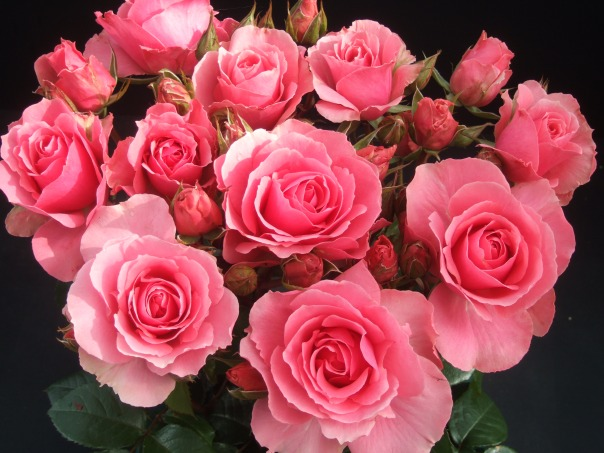 rose-rose-rose-rose-rose-rose-rose-rose-rose-rose-rose-rose-roses-32604383-2848-2136