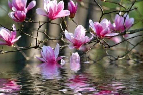 2251328-belle-fleurs-de-printemps-sur-un-magnolia-japonais-2