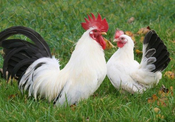 coq-poule-chabo-nagasaki-blanche-queue-noire-panache-petite-jardin-xxl