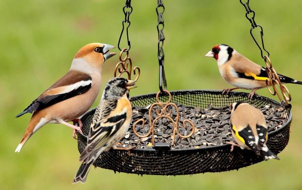Oiseaux à la mangeoire © ALAIN BOULLAH-LPO