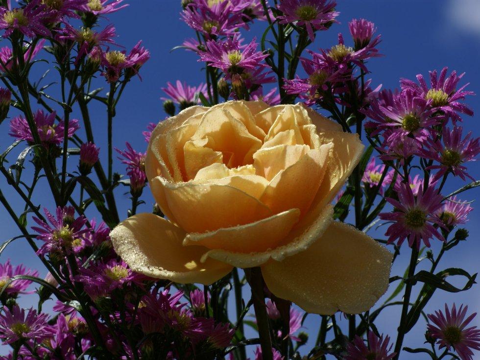 plus belles roses