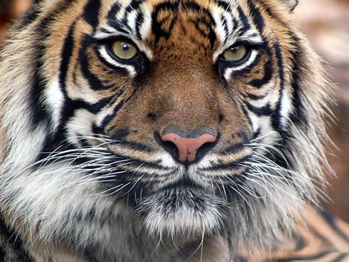 tigres_006