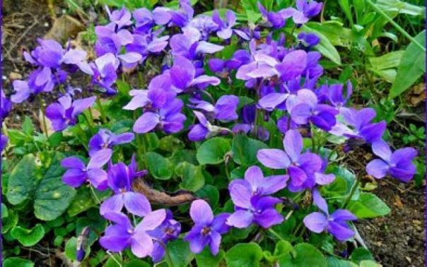 photo-violette