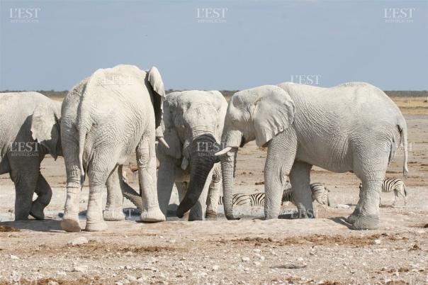 voisine-du-pan-la-mare-permanente-de-nebrownii-est-celebre-pour-ses-elephants-blancs-car-leur-peau-coriace-se-nappe-d-une-fine-pellicule-de-sel-qui-blanchit-leurs-corps-massifs-quand-ils-se-roulent-su