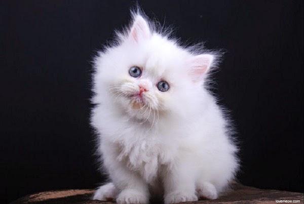 photos-petit-chat-blanc-971