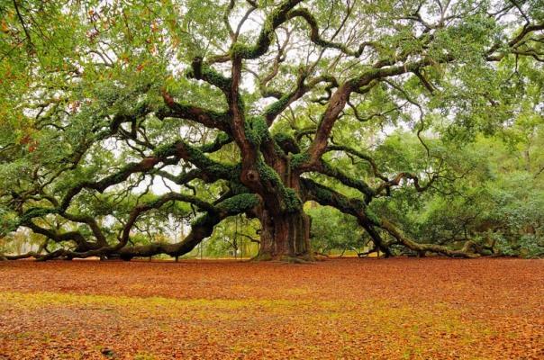 tree-south-carolina1