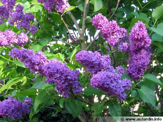syringa-vulgaris-fleur-540x405