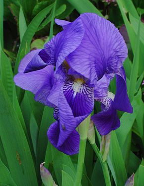 290px-iris_germanica_001