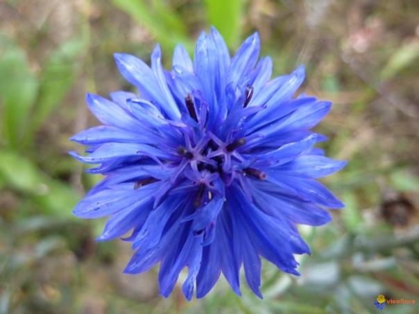 centaurea-cyanus-visoflora-40131