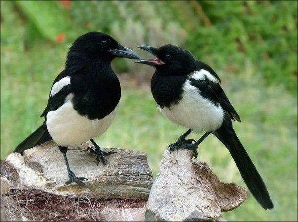 animals-factsheet-eurasian-magpie