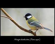 bc445a6668e8b7520ef51eed55b7d43a-beautiful-birds-great-tit