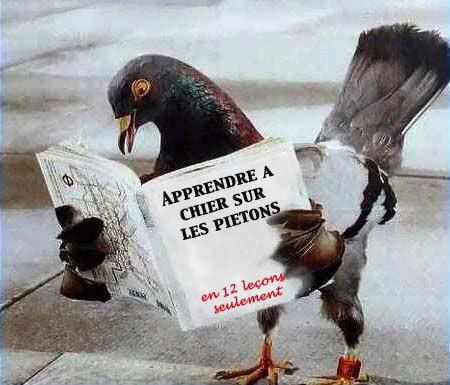 pigeon-belge