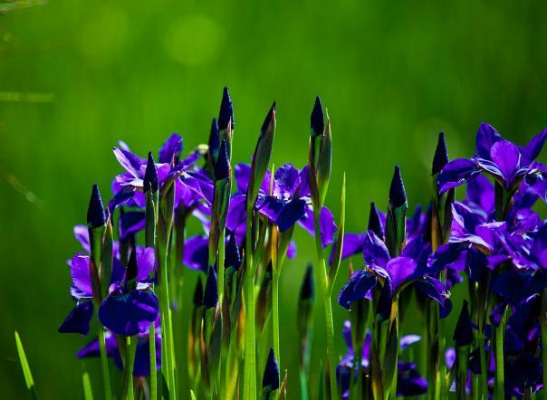 blue-iris-richard-lee