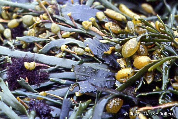 ascophyllum-nodosum-jcj07-600x400
