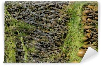 wall-murals-algues-brunes-ascophyllum-nodosum-goemon-noir