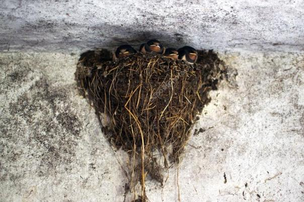depositphotos_12229741-stock-photo-swallows-nest-in-a-barn