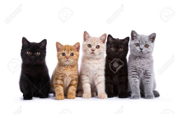 81070586-row-of-five-british-shorthair-cats-kitten-sitting-isolated-on-white-background